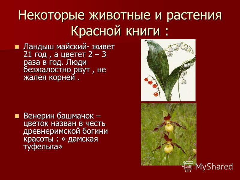 Некоторые животные и растения Красной книги : Ландыш майский- живет 21 год, а цветет 2 – 3 раза в год. Люди безжалостно рвут, не жалея корней. Ландыш майский- живет 21 год, а цветет 2 – 3 раза в год. Люди безжалостно рвут, не жалея корней. Венерин ба
