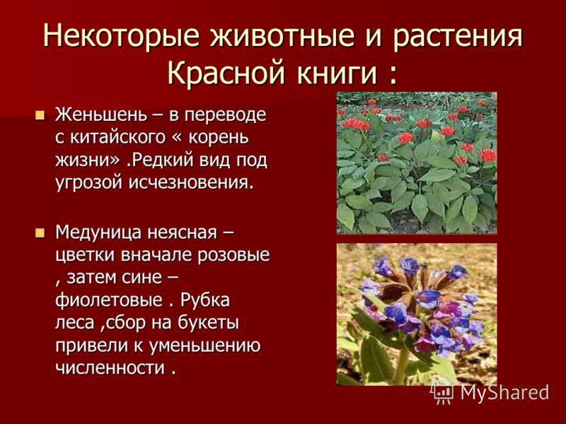 Некоторые животные и растения Красной книги : Женьшень – в переводе с китайского « корень жизни».Редкий вид под угрозой исчезновения. Женьшень – в переводе с китайского « корень жизни».Редкий вид под угрозой исчезновения. Медуница неясная – цветки вн