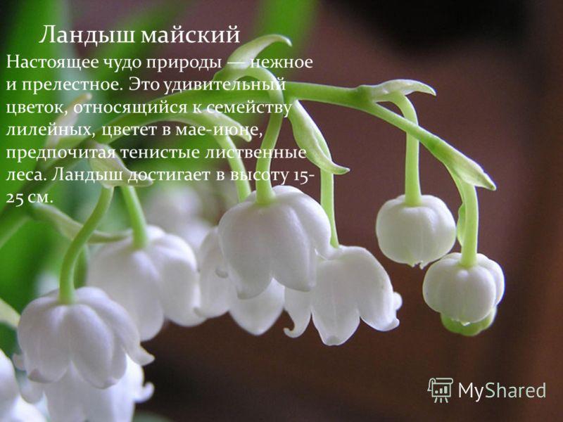 Ландыш майский Настоящее чудо природы нежное и прелестное. Это удивительный цветок, относящийся к семейству лилейных, цветет в мае-июне, предпочитая тенистые лиственные леса. Ландыш достигает в высоту 15- 25 см.