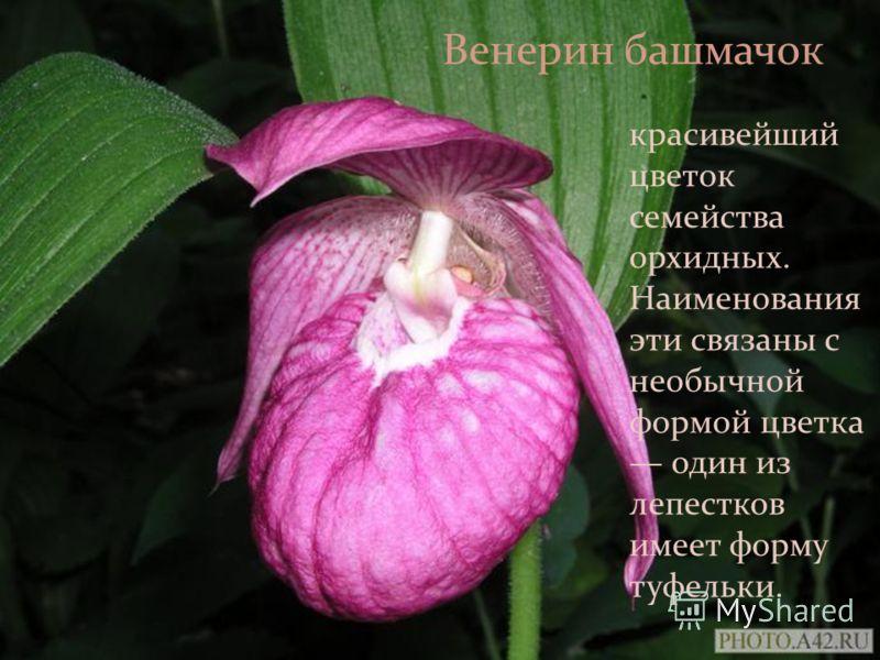 красивейший цветок семейства орхидных. Наименования эти связаны с необычной формой цветка один из лепестков имеет форму туфельки. Венерин башмачок