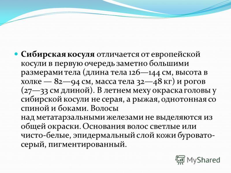 Сибирская косуля отличается от европейской косули в первую очередь заметно большими размерами тела (длина тела 126144 см, высота в холке 8294 см, масса тела 3248 кг) и рогов (2733 см длиной). В летнем меху окраска головы у сибирской косули не серая,