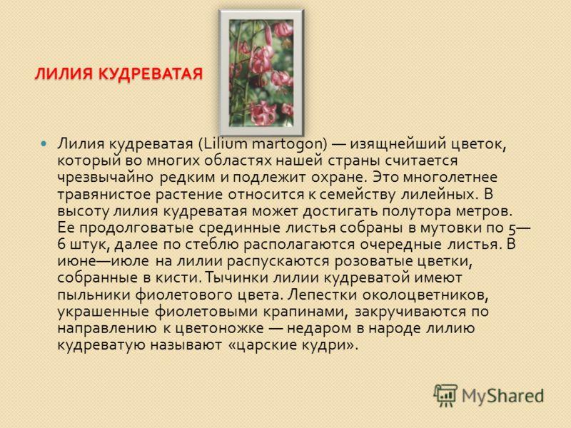 ЛИЛИЯ КУДРЕВАТАЯ Лилия кудреватая (Lilium martogon) изящнейший цветок, который во многих областях нашей страны считается чрезвычайно редким и подлежит охране. Это многолетнее травянистое растение относится к семейству лилейных. В высоту лилия кудрева