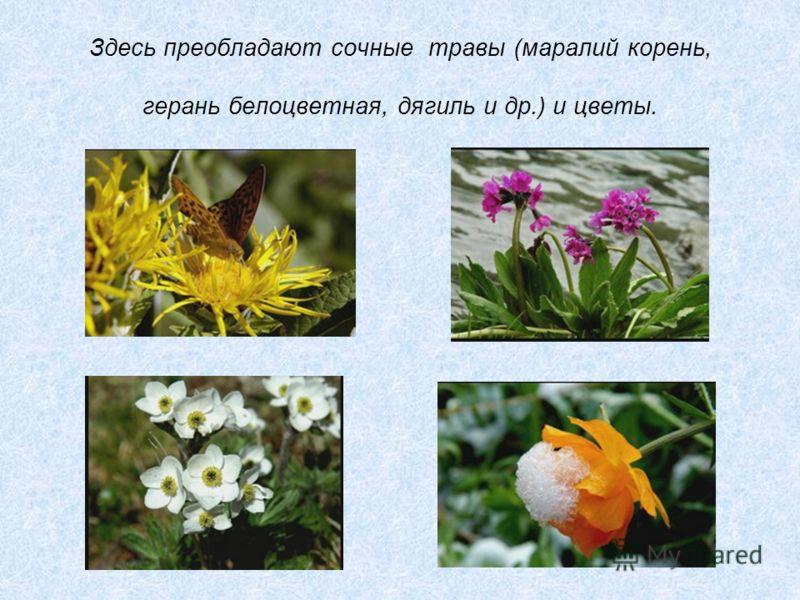 Здесь преобладают сочные травы (маралий корень, герань белоцветная, дягиль и др.) и цветы.