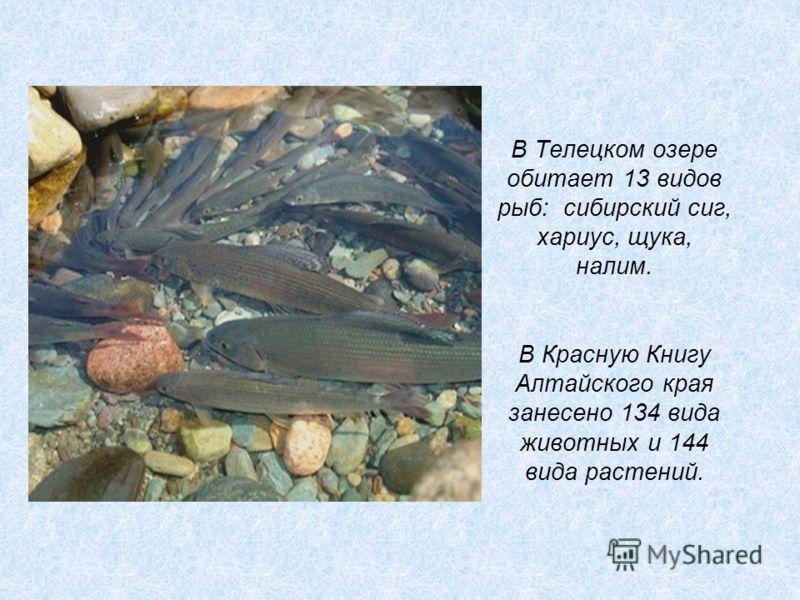 В Телецком озере обитает 13 видов рыб: сибирский сиг, хариус, щука, налим. В Красную Книгу Алтайского края занесено 134 вида животных и 144 вида расте