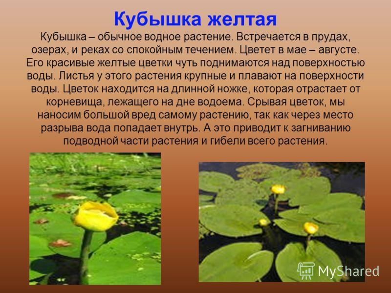 Кубышка желтая Кубышка – обычное водное растение. Встречается в прудах, озерах, и реках со спокойным течением. Цветет в мае – августе. Его красивые желтые цветки чуть поднимаются над поверхностью воды. Листья у этого растения крупные и плавают на пов