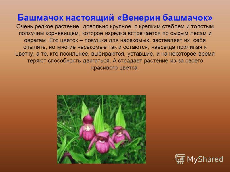 Башмачок настоящий «Венерин башмачок» Очень редкое растение, довольно крупное, с крепким стеблем и толстым ползучим корневищем, которое изредка встречается по сырым лесам и оврагам. Его цветок – ловушка для насекомых, заставляет их, себя опылять, но