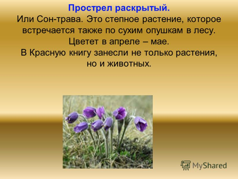 Прострел раскрытый. Или Сон-трава. Это степное растение, которое встречается также по сухим опушкам в лесу. Цветет в апреле – мае. В Красную книгу занесли не только растения, но и животных.