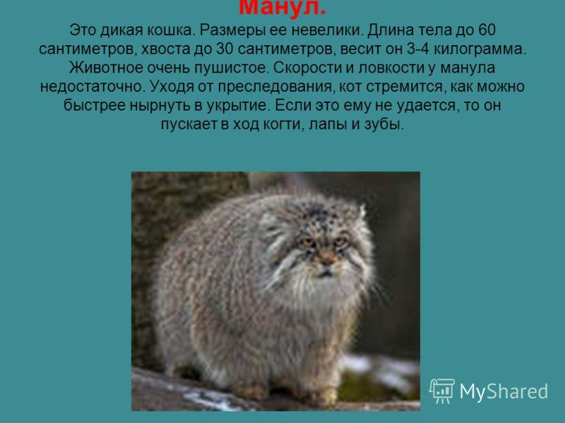 Манул. Это дикая кошка. Размеры ее невелики. Длина тела до 60 сантиметров, хвоста до 30 сантиметров, весит он 3-4 килограмма. Животное очень пушистое. Скорости и ловкости у манула недостаточно. Уходя от преследования, кот стремится, как можно быстрее