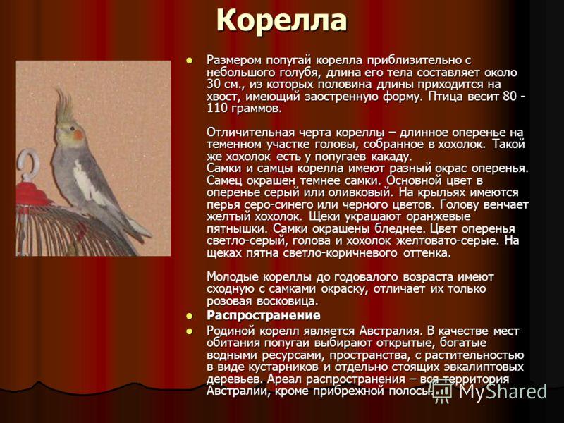 Корелла Размером попугай корелла приблизительно с небольшого голубя, длина его тела составляет около 30 см., из которых половина длины приходится на х
