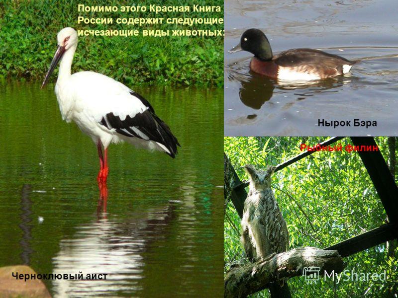 Помимо этого Красная Книга России содержит следующие исчезающие виды животных: Черноклювый аист Рыбный филин Нырок Бэра