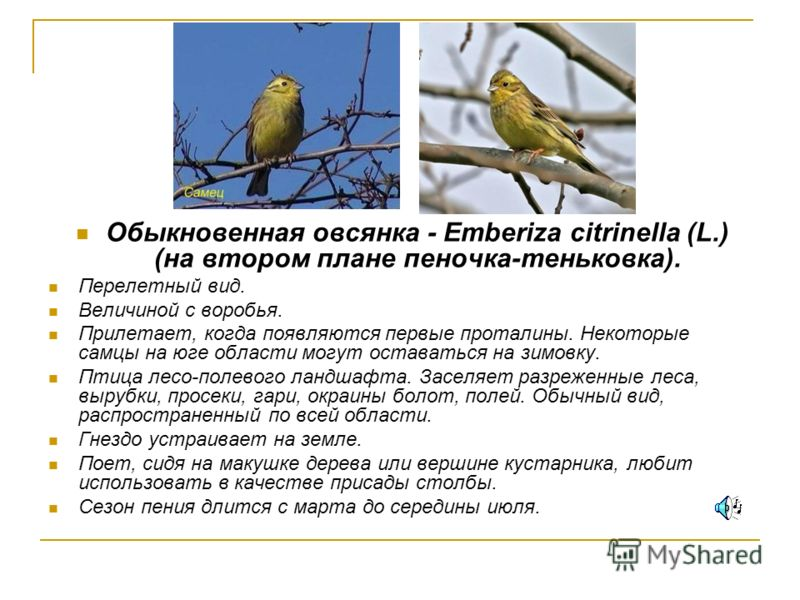 Обыкновенная овсянка - Emberiza citrinella (L.) (на втором плане пеночка-теньковка). Перелетный вид. Величиной с воробья. Прилетает, когда появляются первые проталины. Некоторые самцы на юге области могут оставаться на зимовку. Птица лесо-полевого ла