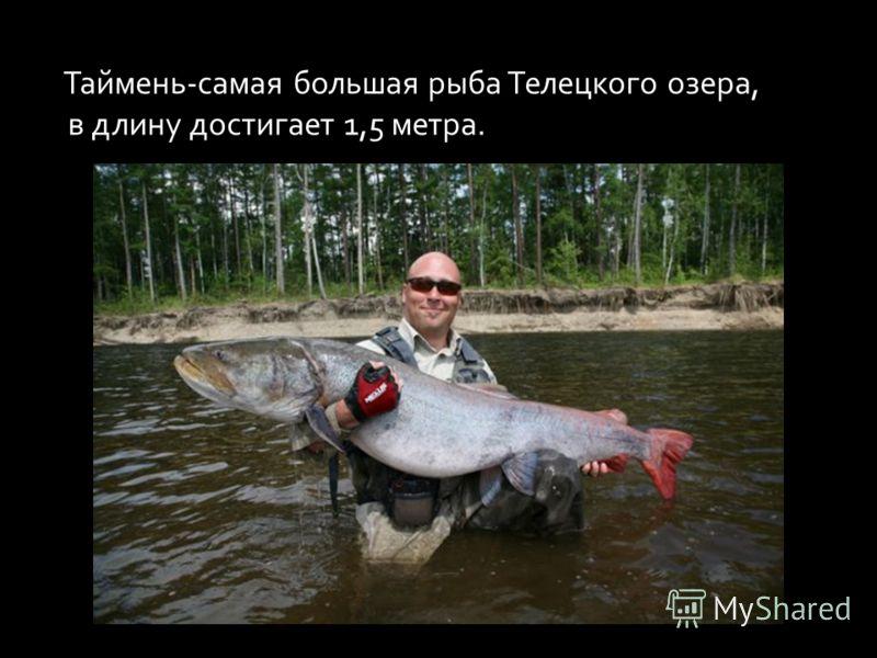 Таймень-самая большая рыба Телецкого озера, в длину достигает 1,5 метра.