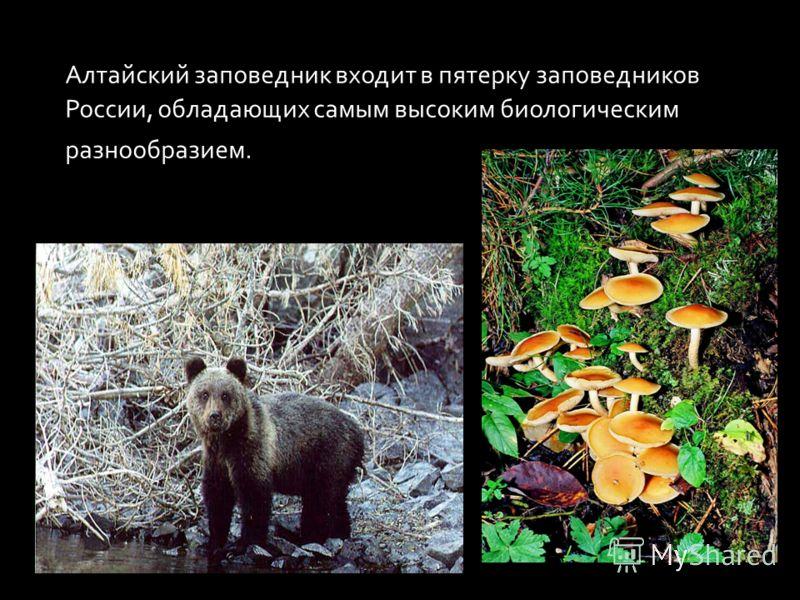 Алтайский заповедник входит в пятерку заповедников России, обладающих самым высоким биологическим разнообразием.