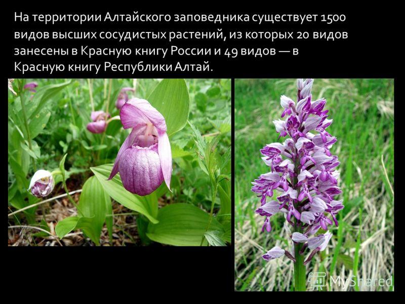 На территории Алтайского заповедника существует 1500 видов высших сосудистых растений, из которых 20 видов занесены в Красную книгу России и 49 видов в Красную книгу Республики Алтай.
