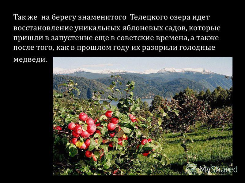 Так же на берегу знаменитого Телецкого озера идет восстановление уникальных яблоневых садов, которые пришли в запустение еще в советские времена, а также после того, как в прошлом году их разорили голодные медведи.