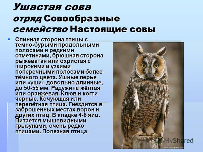 Совообразные Настоящие совы Ушастая сова отряд Совообразные семейство Настоящие совы Спинная сторона птицы с тёмно-бурыми продольными полосами и редкими отметинами, брюшная сторона рыжеватая или охристая с широкими и узкими поперечными полосами более