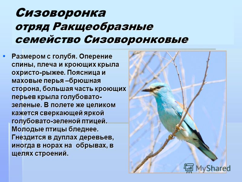 Ракщеобразные Сизоворонковые Сизоворонка отряд Ракщеобразные семейство Сизоворонковые Размером с голубя. Оперение спины, плеча и кроющих крыла охристо-рыжее. Поясница и маховые перья –брюшная сторона, большая часть кроющих перьев крыла голубовато- зе