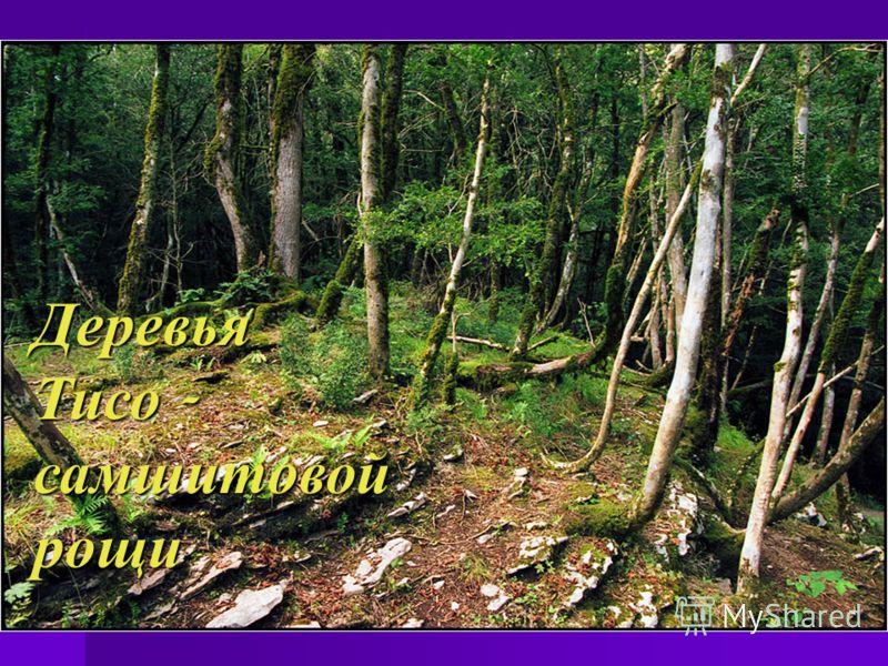 Деревья Тисо - самшитовой рощи