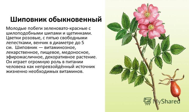 Шиповник обыкновенный Молодые побеги зеленовато-красные с шилоподобными шипами и щетинками. Цветки розовые, с пятью свободными лепестками, венчик в диаметре до 5 см. Шиповник витаминозное, лекарственное, пищевое, медоносное, эфиромасличное, декоратив