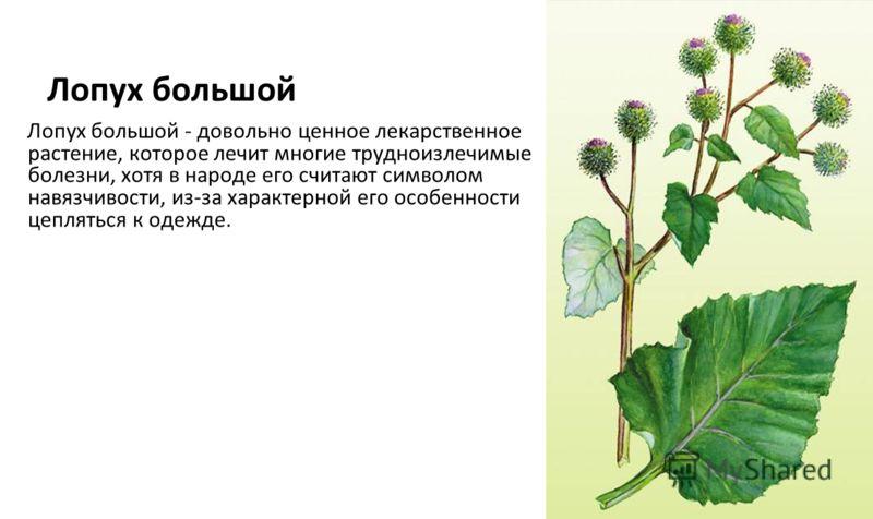 Лопух большой Лопух большой - довольно ценное лекарственное растение, которое лечит многие трудноизлечимые болезни, хотя в народе его считают символом навязчивости, из-за характерной его особенности цепляться к одежде.