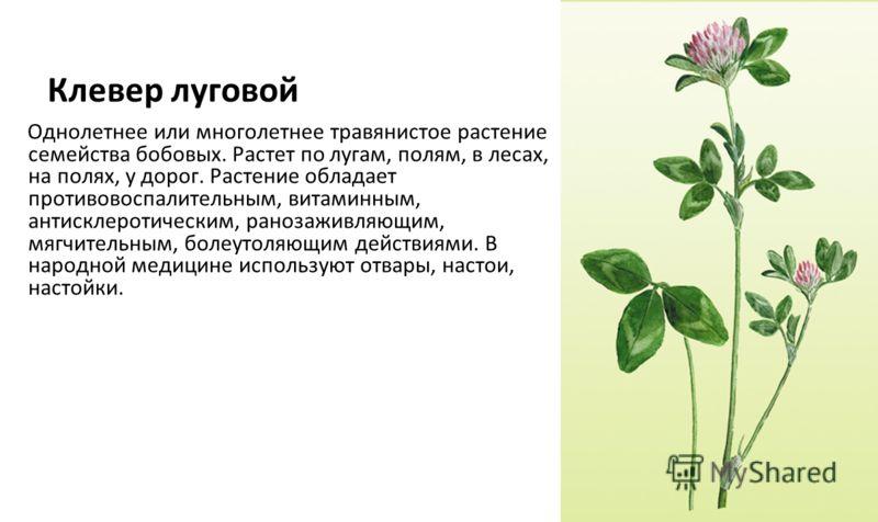 Клевер луговой Однолетнее или многолетнее травянистое растение семейства бобовых. Растет по лугам, полям, в лесах, на полях, у дорог. Растение обладает противовоспалительным, витаминным, антисклеротическим, ранозаживляющим, мягчительным, болеутоляющи