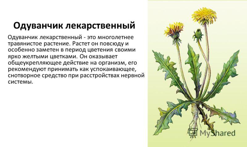 Одуванчик лекарственный Одуванчик лекарственный - это многолетнее травянистое растение. Растет он повсюду и особенно заметен в период цветения своими ярко желтыми цветками. Он оказывает общеукрепляющее действие на организм, его рекомендуют принимать