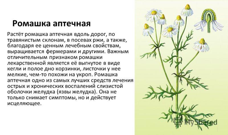 Ромашка аптечная Растёт ромашка аптечная вдоль дорог, по травянистым склонам, в посевах ржи, а также, благодаря ее ценным лечебным свойствам, выращивается фермерами и другими. Важным отличительным признаком ромашки лекарственной является её выгнутое