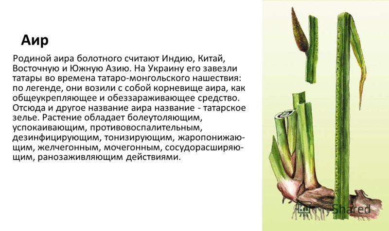 Аир Родиной аира болотного считают Индию, Китай, Восточную и Южную Азию. На Украину его завезли татары во времена татаро-монгольского нашествия: по легенде, они возили с собой корневище аира, как общеукрепляющее и обеззараживающее средство. Отсюда и