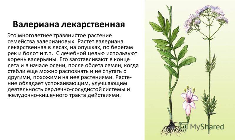 Валериана лекарственная Это многолетнее травянистое растение семейства валериановых. Растет валериана лекарственная в лесах, на опушках, по берегам рек и болот и т.п. С лечебной целью используют корень валерьяны. Его заготавливают в конце лета и в на