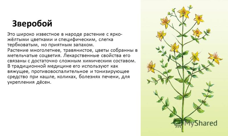 Зверобой Это широко известное в народе растение с ярко- жёлтыми цветками и специфическим, слегка тербковатым, но приятным запахом. Растение многолетнее, травянистое, цветы собранны в метельчатые соцветия. Лекарственные свойства его связаны с достаточ