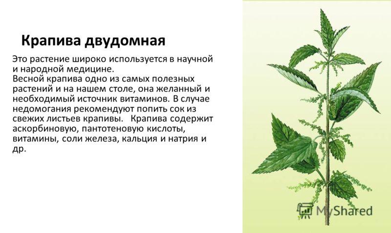 Крапива двудомная Это растение широко используется в научной и народной медицине. Весной крапива одно из самых полезных растений и на нашем столе, она желанный и необходимый источник витаминов. В случае недомогания рекомендуют попить сок из свежих ли