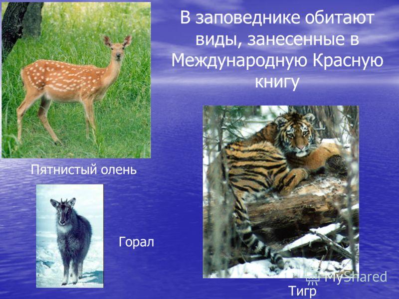 Пятнистый олень Горал Тигр В заповеднике обитают виды, занесенные в Международную Красную книгу
