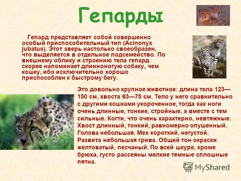 Гепарды Гепард представляет собой совершенно особый приспособительный тип (Аcinonyx jubatus). Этот зверь настолько своеобразен, что выделяется в отдельное подсемейство. По внешнему облику и строению тела гепард скорее напоминает длинноногую собаку, ч