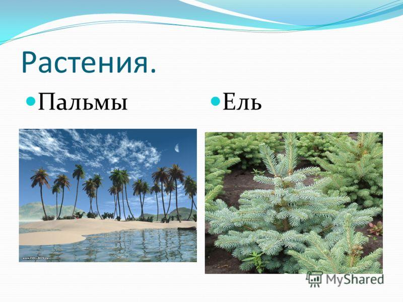 Растения. Пальмы Ель