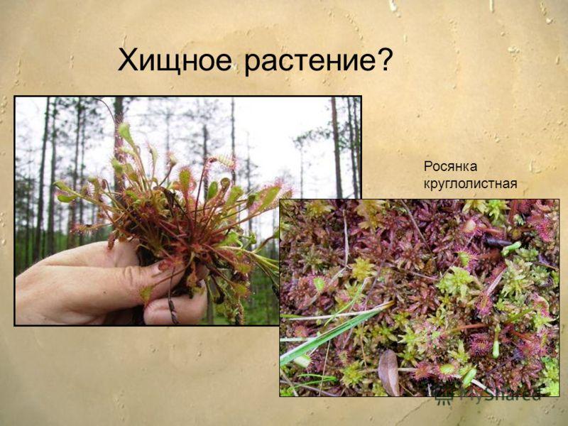 Хищное растение? Росянка круглолистная