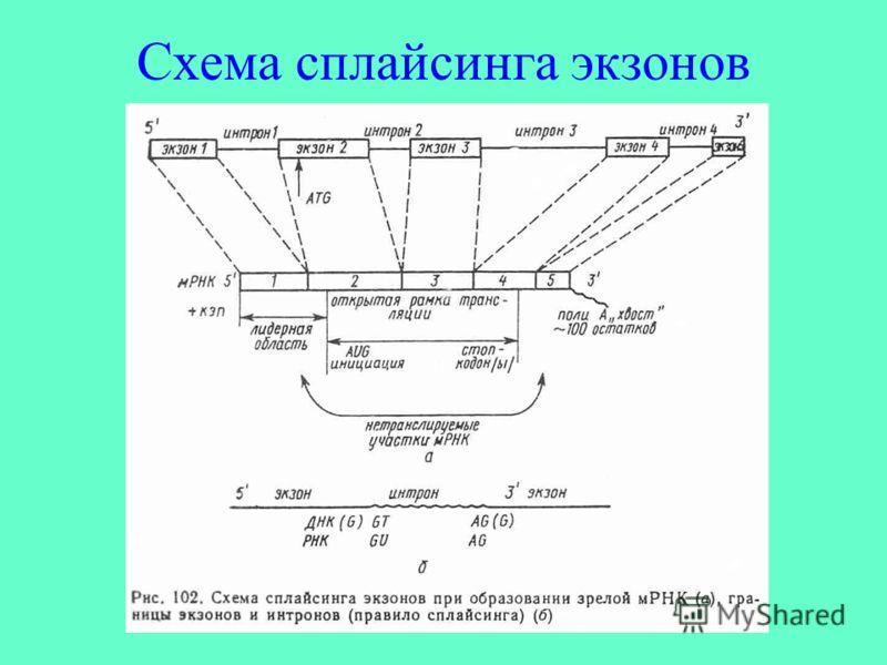 Схема сплайсинга экзонов