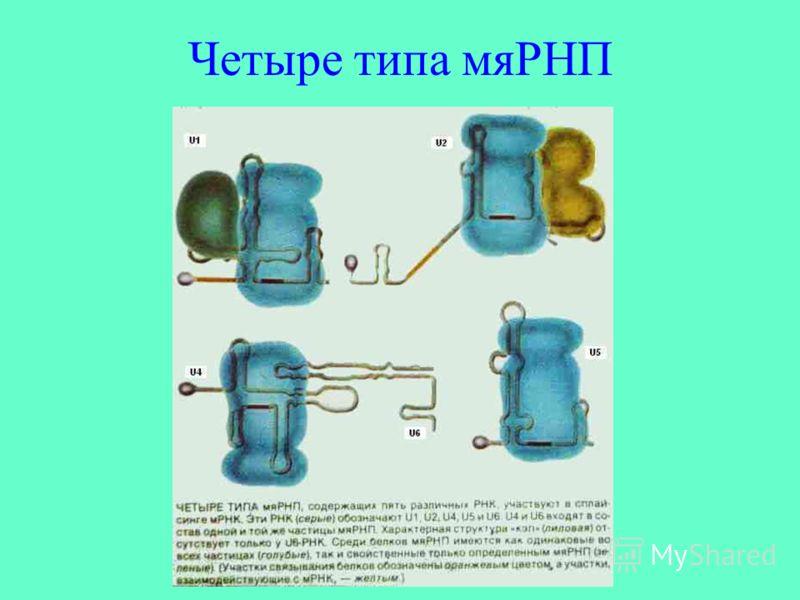 Четыре типа мяРНП