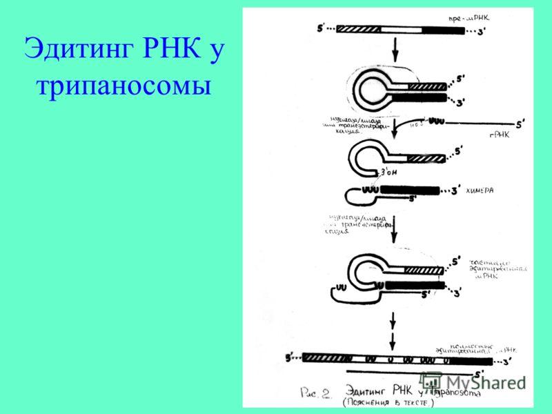 Эдитинг РНК у трипаносомы