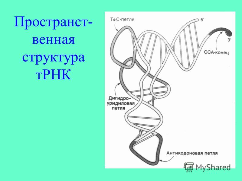 Пространст- венная структура тРНК
