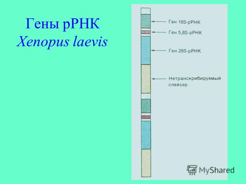 Гены рРНК Xenopus laevis