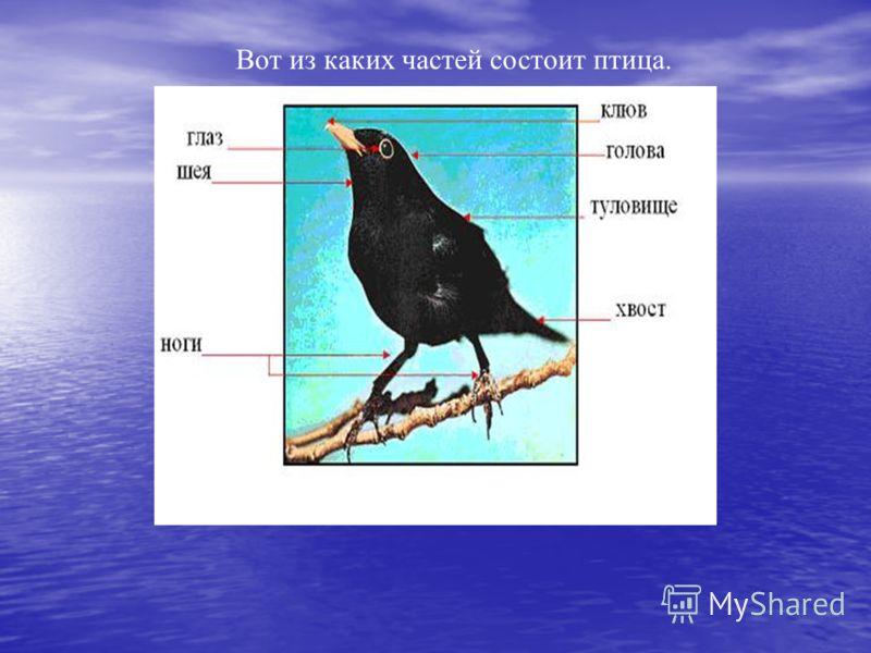 Вот из каких частей состоит птица.