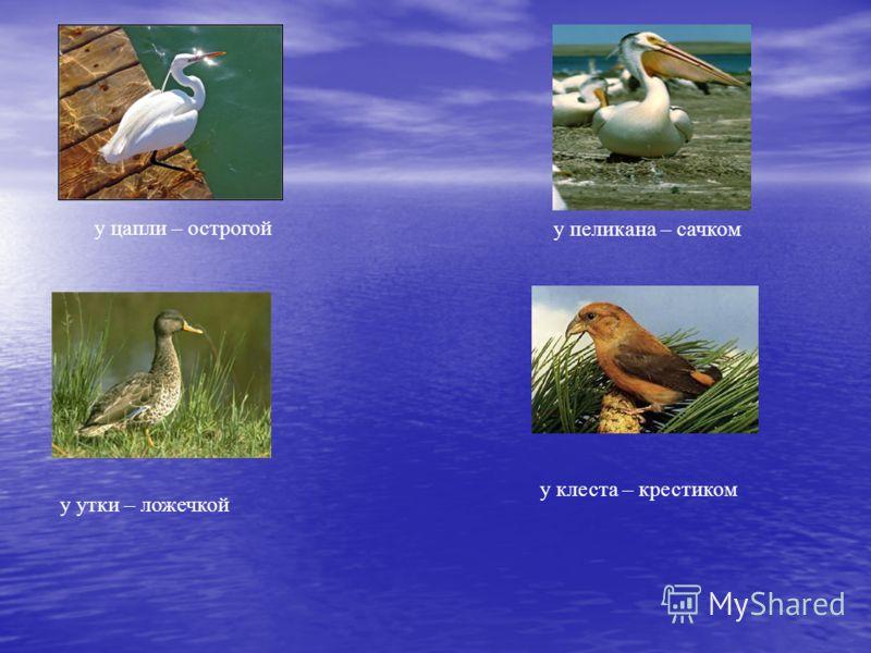 у цапли – острогой у утки – ложечкой у пеликана – сачком у клеста – крестиком