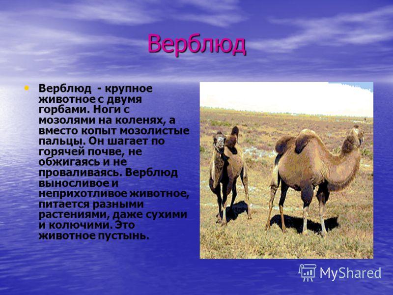 Верблюд Верблюд - крупное животное с двумя горбами. Ноги с мозолями на коленях, а вместо копыт мозолистые пальцы. Он шагает по горячей почве, не обжигаясь и не проваливаясь. Верблюд выносливое и неприхотливое животное, питается разными растениями, да