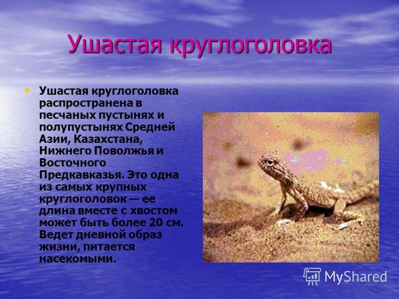 Ушастая круглоголовка Ушастая круглоголовка распространена в песчаных пустынях и полупустынях Средней Азии, Казахстана, Нижнего Поволжья и Восточного Предкавказья. Это одна из самых крупных круглоголовок ее длина вместе с хвостом может быть более 20