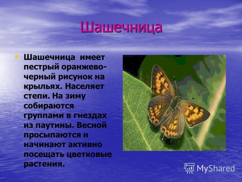 Шашечница Шашечница имеет пестрый оранжево- черный рисунок на крыльях. Населяет степи. На зиму собираются группами в гнездах из паутины. Весной просыпаются и начинают активно посещать цветковые растения.