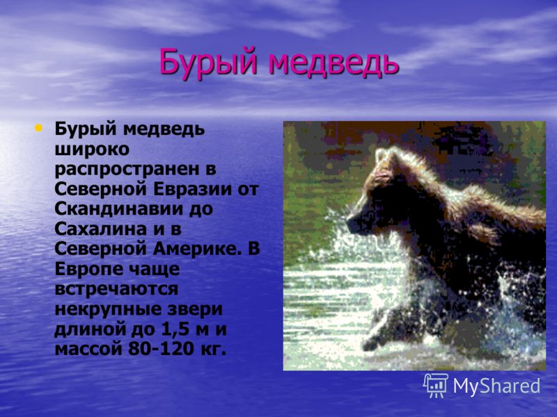 Бурый медведь Бурый медведь широко распространен в Северной Евразии от Скандинавии до Сахалина и в Северной Америке. В Европе чаще встречаются некрупные звери длиной до 1,5 м и массой 80-120 кг.
