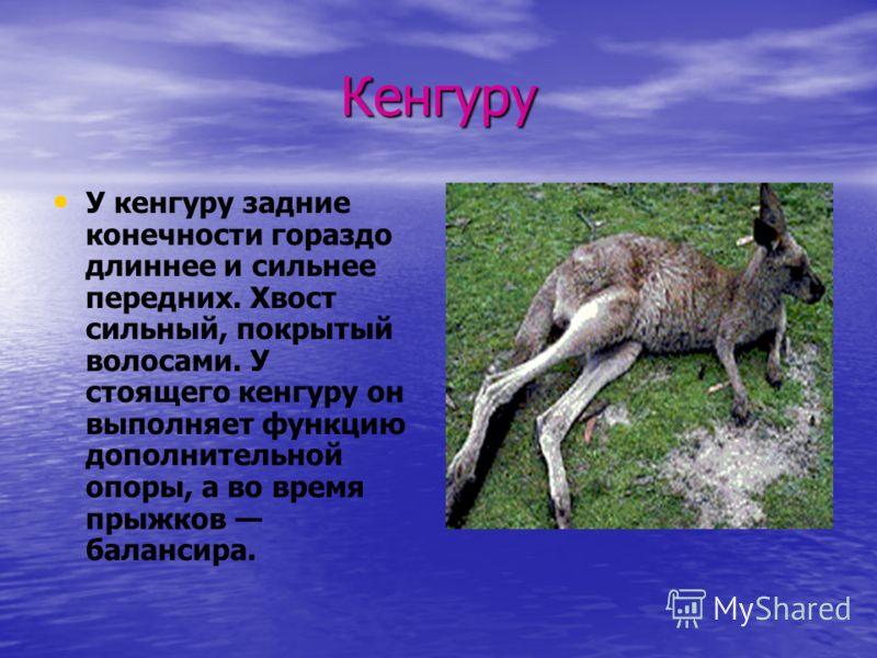 Кенгуру У кенгуру задние конечности гораздо длиннее и сильнее передних. Хвост сильный, покрытый волосами. У стоящего кенгуру он выполняет функцию дополнительной опоры, а во время прыжков балансира.