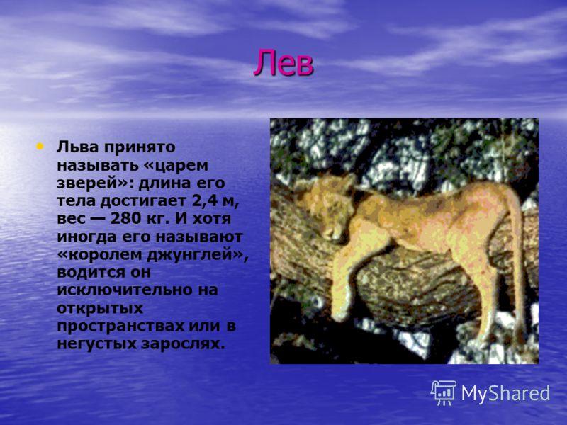 Лев Льва принято называть «царем зверей»: длина его тела достигает 2,4 м, вес 280 кг. И хотя иногда его называют «королем джунглей», водится он исключительно на открытых пространствах или в негустых зарослях.