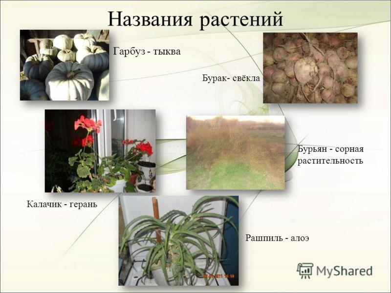 Названия растений Гарбуз - тыква Калачик - герань Бурак- свёкла Бурьян - сорная растительность Рашпиль - алоэ