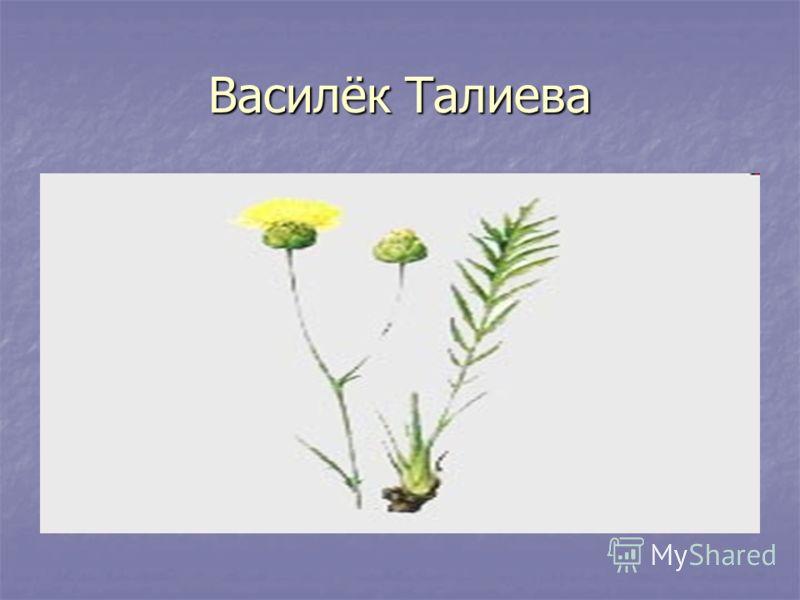 Василёк Талиева